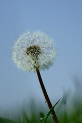 Pusteblume (Lutz Blohm) Tags: pusteblume naturfoto blüte wiesenblume natur fe70300goss sonyalpha7aii löwenzahn