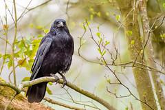 Crow (Keith Grafton) Tags: leightonmoss crow birds