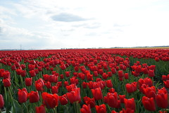 Let's move to the left (avista) Tags: tulips tulipfields biddinghuizen flevoland thenetherlands nederland 35mm zeiss flowers nature red