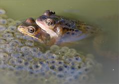 Amplexus (berthou.patrick) Tags: les grenouilles rousses