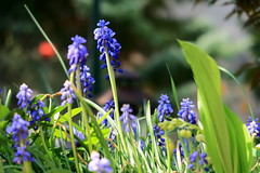 Spring flowers (No_Mosquito) Tags: bokeh hyacinths green blue colourful nature spring canon powershot g7x mark ii purple