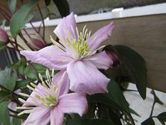 9762 Clematis montana 'Rubens' (Andy - Busyyyyyyyyy) Tags: bbb bloom ccc clematis clematismontana'rubens' fff flower mmm montana montanarubens pink ppp rrr