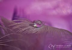Nevena Uzurov - Pink Monday (Nevena Uzurov) Tags: macro water droplet drop waterdrop feather pink light nevenauzurov serbia