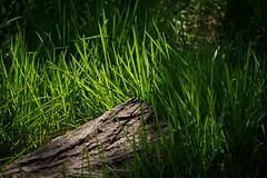 Woodland Floor (hutchyp) Tags: woodland grass log sunlight sun shadows warsash common hampshire sony alpha a58