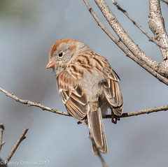 Field Sparrow (rdroniuk) Tags: birds passerines smallbirds sparrows fieldsparrow spizellapusilla oiseaux passereaux bruants bruantdeschamps