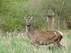 Red deer (deannewildsmith) Tags: chasewater staffordshire deer reddeer animal earthnaturelife