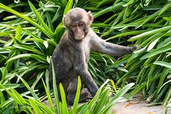 Japanese Macaque (Macaca fuscata) D50_7649.jpg (Mobile Lynn) Tags: captive japanesemacaque primate nature fauna macacafuscata wildlife launceston tasmania australia au