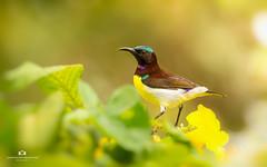sunbird (Surendhar Mudaliar Photography) Tags: sunbird bird