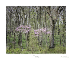 Twins (baldwinm16) Tags: april il illinois mortonarboretum places midwest nature season spring natureofthingsphotography
