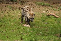 Jakhals (ToJoLa) Tags: canon canoneos60d 2017 safaripark beeksebergen voorjaar spring lente animals dieren dierentuin noordbrabant zoo