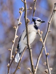 Backyard Bluejay (swmartz) Tags: mercercounty outdoors wildlife birds nikon nature newjersey
