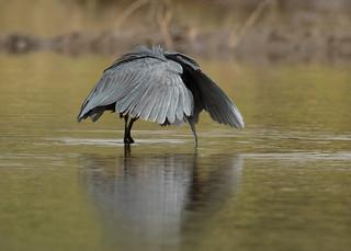 Black Heron - Egretta ardesiaca