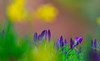Purple, green and gold (Steve-h) Tags: dof bokeh crocuses daffodils flowers bushypark depthoffield nature natural natur natura naturaleza pretty colours colour purple green gold yellow pink grey spring march 2016 park dublin ireland europe digital exposure canon camera lens steveh 春天的花朵 性质 自然 春の花