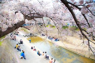 櫻花樹下乘涼