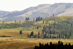 The Big Valley (Patricia Henschen) Tags: yellowstonenationalpark wyoming towerroosevelt tower roosevelt lamar valley lamarvalley lamarriver bison yellowstone nationalpark