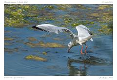 Mouette | Little gull [Txingudi | Espagne | Spain ] (BerColly) Tags: espagne spain parc ornitho oiseau bird mouette littlegull plaiaundi txingudi irun vol flight bercolly google flickr