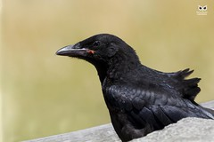 Gralha-preta, Carrion Crow (Corvus corone) (xanirish) Tags: gralhapreta carrioncrowcorvuscoroneemliberdadewildlifenunoxavierlopesmoreirangc animals animais aves de portugal observação nature natureza selvagem pics wildlife wildnature wild photographer birds birding birdwatching em bird ao ar livre ornitologia ngc nuno xavier moreira nunoxaviermoreira liberdade national geographic corvuscorone carrioncrow