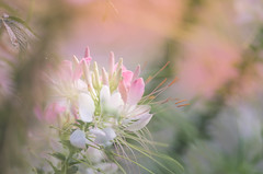 Blur in light coral (kimberley. Finding art in nature) Tags: blur spider flower cleome plant pastel movement artistic pentax