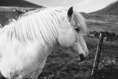 White Horse in Kalsoy - Faroe Islands (@PAkDocK / www.pakdock.com) Tags: faroe landscape pakdock travel portrait sea nature island animals black white lifestyle green hair horse village islands horses wildlife panoramic free outdoors flying group grassland adventure planet icelandic wanderlust islas faroese monochrome kalsoy