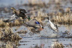 Explosion (Peter Stahl Photography) Tags: pintail northernlights ducks murraymarsh spring