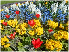 The Colours of Spring ... (** Janets Photos **Feeling a bit Better) Tags: uk hull citycentres flowerbeds springtime coloursflowers plants flora