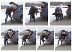11/52/17 A little help from our friends....... EXPLORE! (Hodgey) Tags: dogs josh lab ralph boxer cross peter husband subaru insandouts 52weeksfordogs alittlehelpfromourfriends