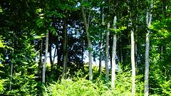 Χανια Πηλιου DSC03862 (omirou56) Tags: χανιαπηλιου 169ratio sonydscwx500 δεντρα δασοσ σκια πρασινο φυση φυλλα καλοκαιρι ελλαδα ελλασ ευρωπη εξοχη εκδρομη ταξιδι greece green hellas trees forest shadow travel nature natur natura volos outdoor day
