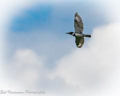 Kingfisher (BobHartmannPhotography) Tags: 500pxb landscape bird bobhartmannphotography audobon bobhartmanncom bobhartmann wildlife 1365 bbobhartmann birds everglades 365 wwwbobhartmanncom bobhartmannphotographer wl fl usa
