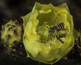 Bees And Buds On A Purple Prickly Pear Cacts