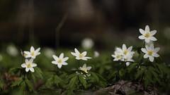 Lente! Vergeet de winter. (nikjanssen) Tags: lente spring bosanemoon woodanemone bokeh vintagelenses helios442 dof explore