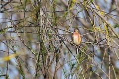 Parc Naturel dels Aiguamolls de l'Empordà (Catalogne/Espagne) (PierreG_09) Tags: catalunya cataluña spain spanien espanya españa faune oiseau linottemélodieuse cardueliscannabina commonlinnet passériformes fringillidés parcnatureldelsaiguamolls