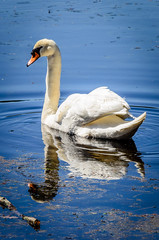 Swan (djwtwo) Tags: eastfreetown massachusetts unitedstates us nokon d7000 nikkor18300 swan water bird animal outdoors portrait