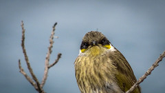 What the heck ?! (Lanceflot) Tags: bird birding birdwatching honeyeater singing masked australia head bight south wildlife feather yellow looking