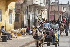 vivere per strada 20 (mat56.) Tags: persone people vivere strada street life città city saintlouis senegal africa pecore sheep cavallo barrow carretto horse antonio romei mat56 colori colors