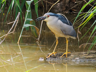Martinet de nit - Martinete común - Black-crowned night heron - Nycticorax nycticorax