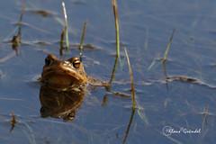 9505 Kröte (Canonklick) Tags: canon6d kröte ostalb weiherwiesen macro frösche nature frog