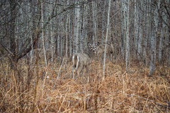 Almost Hidden (cowgirljo78) Tags: aspen forest wisconsin woods trees wild wildlife deer whitetails blending camouflage spring hiding hidden north