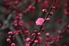 Ume ?,Kyotogyoen,Kyoto (yopparainokobito) Tags: japaneseapricot prunusmume kyotogyoen kyotogosho kyoto ume 梅 京都 京都御苑 京都御所 canon eos eosm3 m3