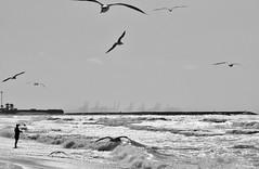 Birds - Marina Beach, Dubai, UAE (kadryskory) Tags: kadryskory dubai marinabeach sand beach birds sea coastline animal uae bw blackwhite blackandwhite canon water monochrome bird person waves port
