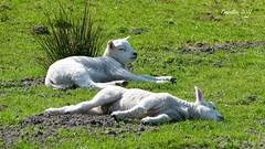 Lammetjes - Lambs (Cajaflez) Tags: lammetjes lambs animal dier zoogdier mamal gras weiland groen green meadow grass cute lief ngc npc coth5