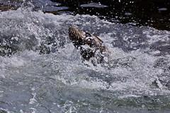 Concentration !! (DirkVandeVelde Back) Tags: europa europ europe belgie belgium belgica belgique buiten biologie blankenberge sealife zeehond zeezoogdieren zoogdieren mammalia fauna