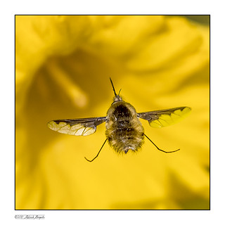 Bee-fly close-up