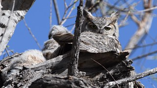 Great Horned Owls Video3