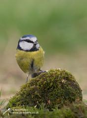 Blue tit (Neil Phillips) Tags: aves cyanistescaeruleu eurasian bird bluetit tit titmouse