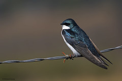 Tree Swallow | Hirondelle bicolore (shimmeringenergy) Tags: treeswallow hirondellebicolore tachycinetabicolor richmond britishcolumbia