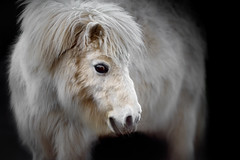 'Angel Heart' (Jonathan Casey) Tags: pony portrait equine horse nikon d810 400mm vr f28