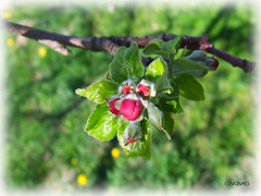 Buds... (Szemeredi Photos/ clevernails) Tags: bud blossom spring tree flower leave grass april shadow colorful frame macro