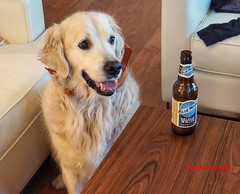 Where's my Red Stripe? (Halcon122) Tags: ollie golden thirsty beer indoors color olympusem5markii