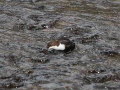 Dipper 3 (Wildlife Terry well behind) Tags: dipper riverrothay whitemoss rydal grasmere lakedistrictnationalpark cumbria northwestengland spring march 2017 hiking walking fellwalking amateurphotography countryside birdwatching