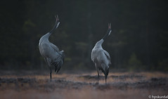 Crane dance (hpskurdal) Tags: grus grusgrus trane wild spring dance romerike d700 orrfugl crane